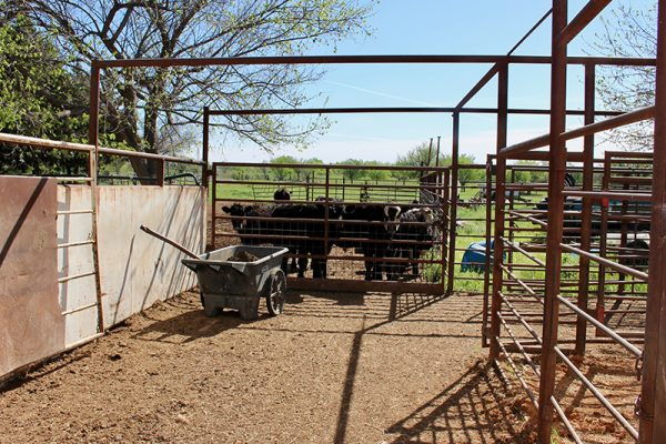 alley to cattle chute